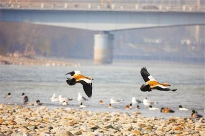 候鸟舞蹁跹 好一幅生态画卷 兰州市民投食赏鸟