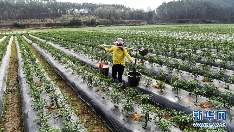 (经济)(5)广西钦州:冬辣椒提前上市