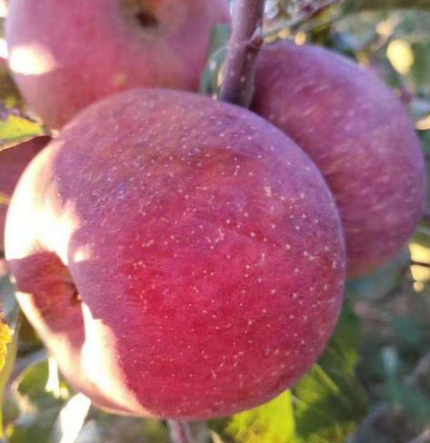 甘肃省优质苹果远销尼泊尔市场