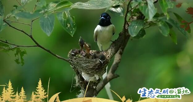 【生态文明@湿地】温情一刻!高邮湖湿地寿带鸟携子入镜