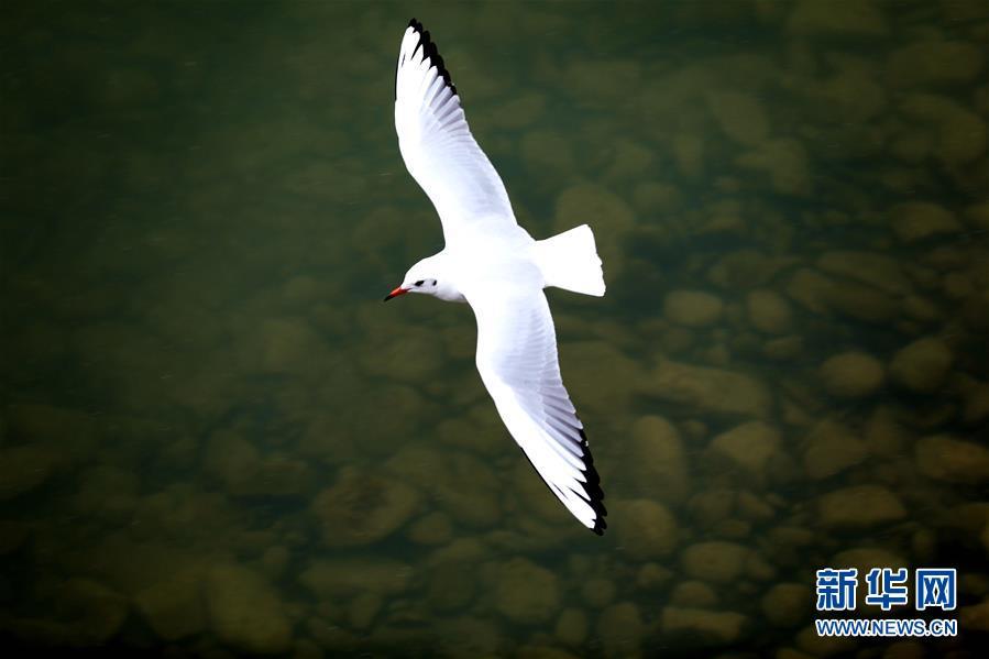"""候鸟集群""""相约""""黄河三峡"""
