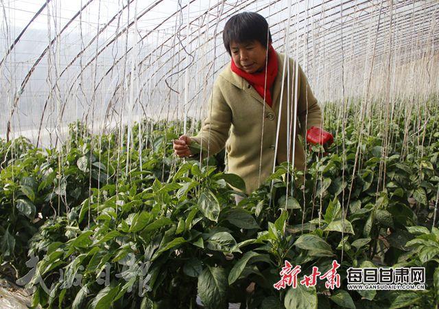 凉州区高坝镇蜻蜓村4组村民徐桂花在采摘彩椒