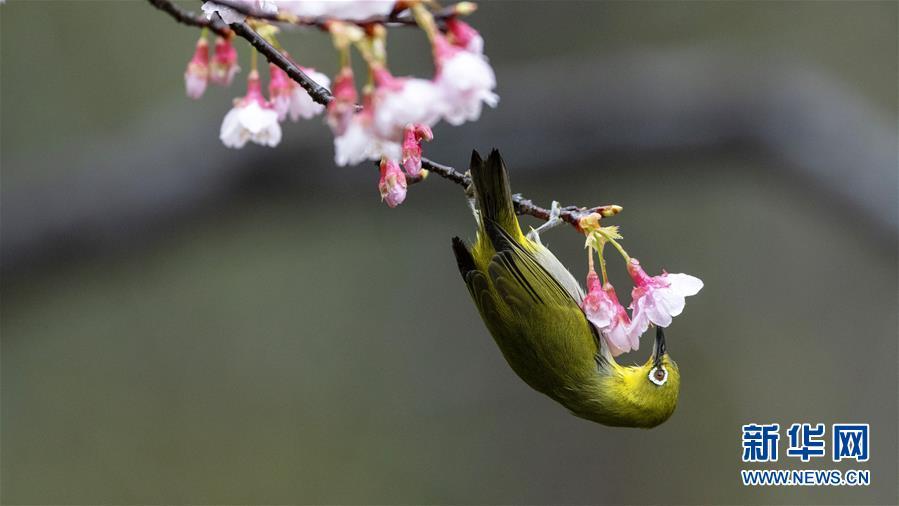 (环境)(2)樱花枝头鸟翻飞