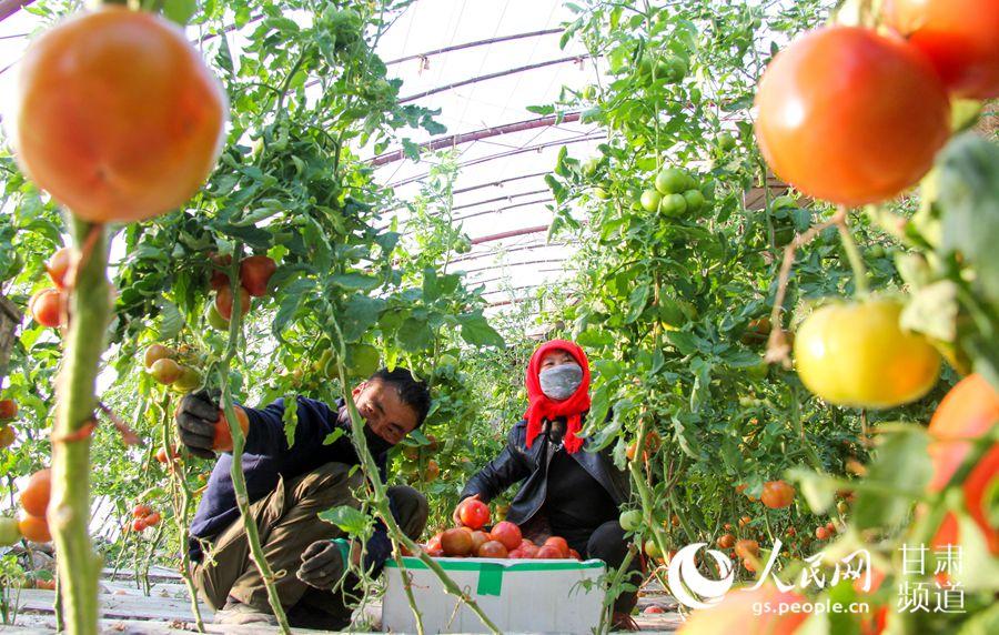 甘肃酒泉:戈壁菜园喜获丰收 全力做好市场供应