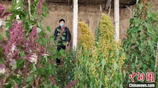 华锐藏区山旱地占耕地八成 跟进藜麦产业冬季试种成功