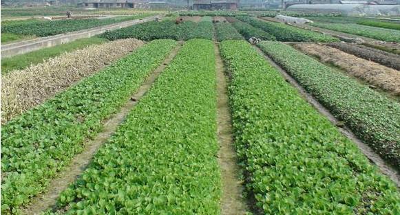 兰州市今日起再向市场投放1500吨冬春储备蔬菜