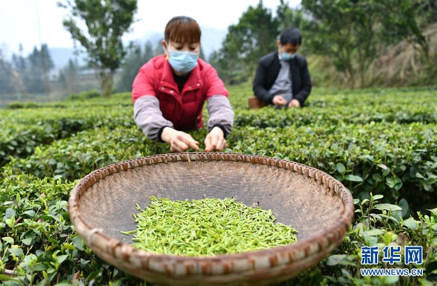 #(社会)(2)鄂西山区春茶采摘