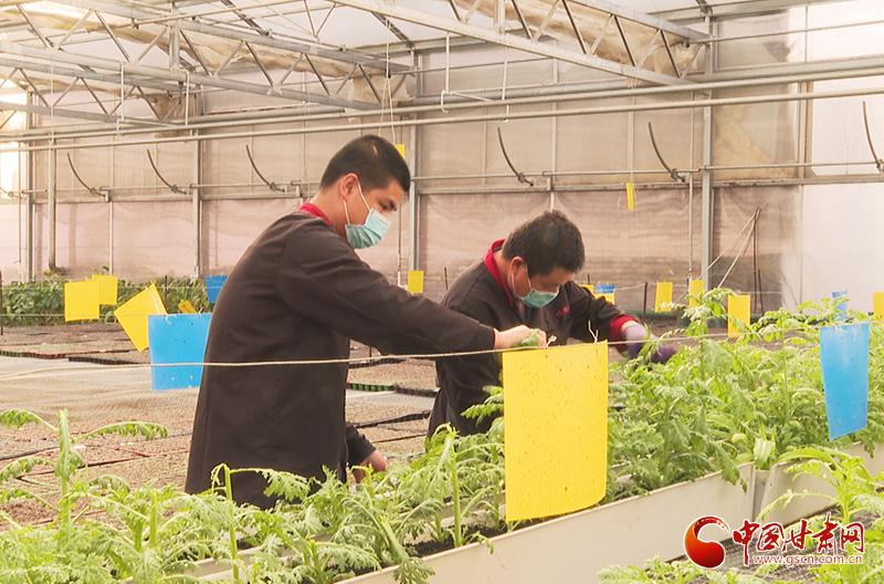 甘肃临泽:订单农业稳增收 农户致富信心足(图)