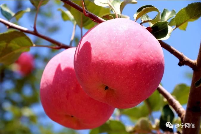 【防疫科普|饮食篇】如何正确认识苹果的营养价值?专家来告诉你