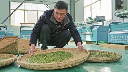 陇南文县:春茶初上市 群众采茶忙(图)