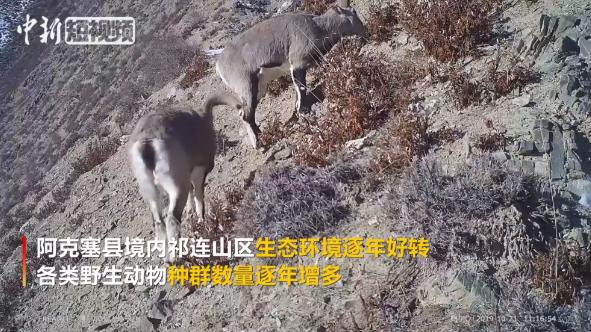 甘肃祁连山区首现四只雪豹同框罕见画面