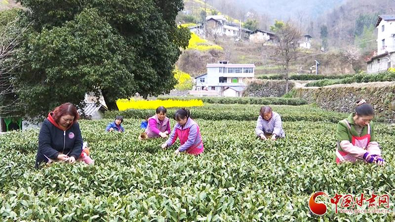 【春暖花开】甘肃文县:让水河畔茶飘香(图)