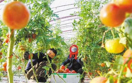 酒泉市肃州区总寨戈壁生态产业园区蔬菜喜获丰收