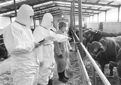 甘肃三农丨甘肃西门塔尔牛持续供应澳门市场