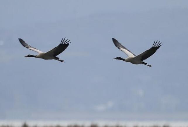 贵州威宁:黑颈鹤陆续北迁