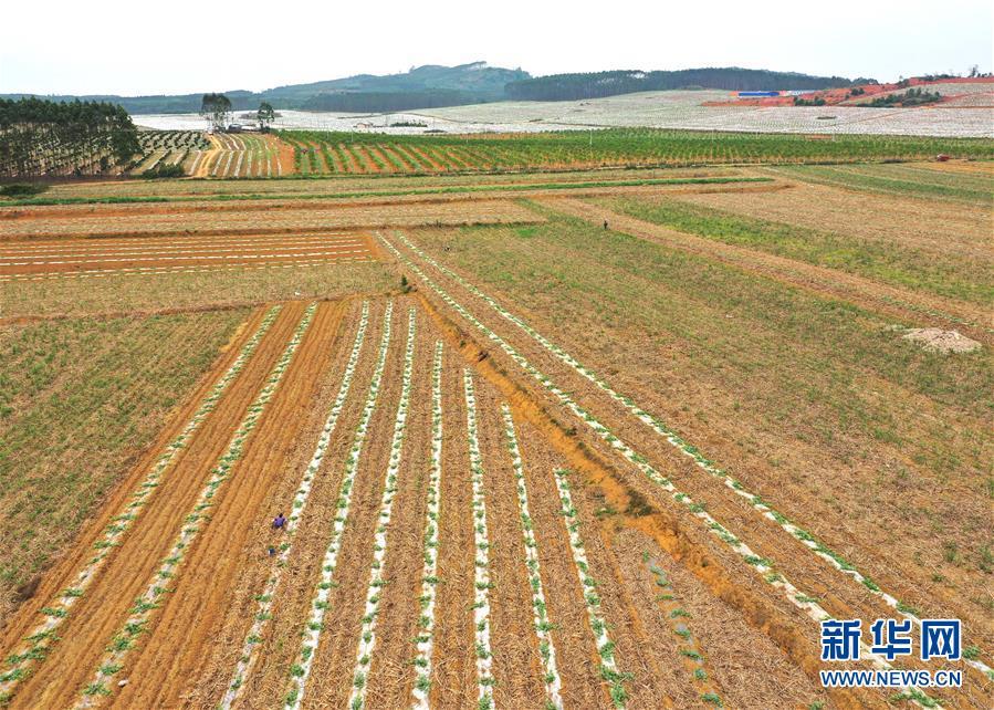 (社会)(2)广西:春来农事忙