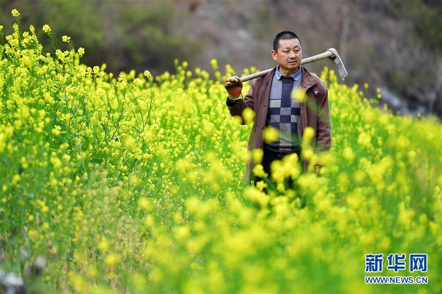 (美丽中国)(3)甘肃文县:油菜花开春光好