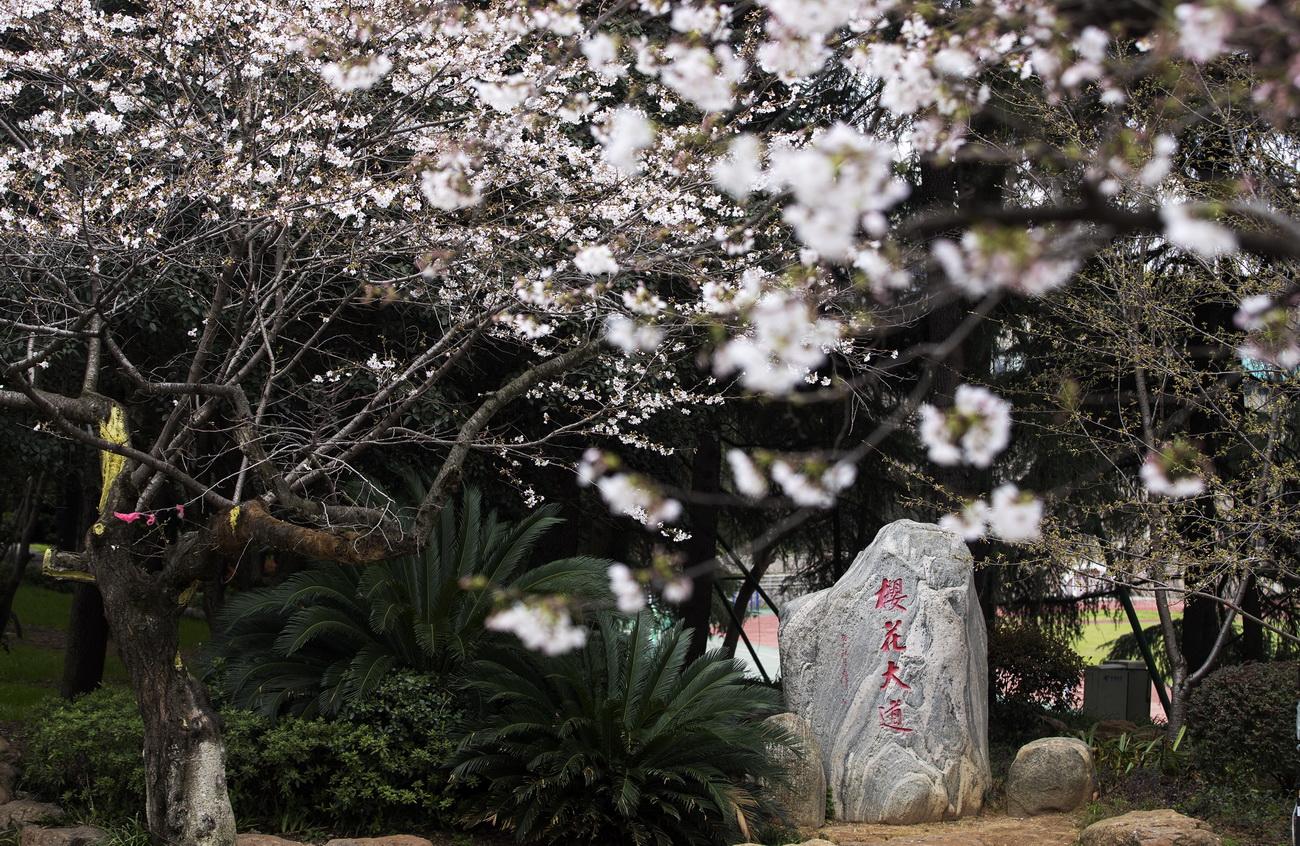"""武汉大学开通""""云赏樱""""向公众展示校园樱花美景"""