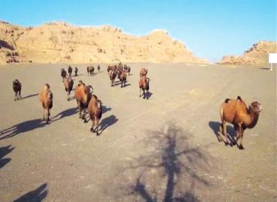 敦煌西湖保护区拍到野骆驼群及