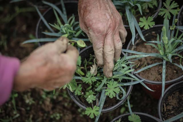 陆成权母亲今年80岁,除草的动作十分麻利。
