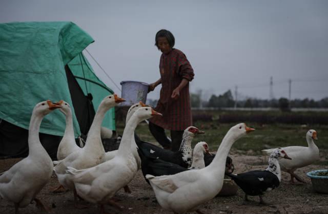 """陆成权表示这些鹅鸭当时买来是为养着玩,它们""""呱呱叫""""能让田间多些生气。"""