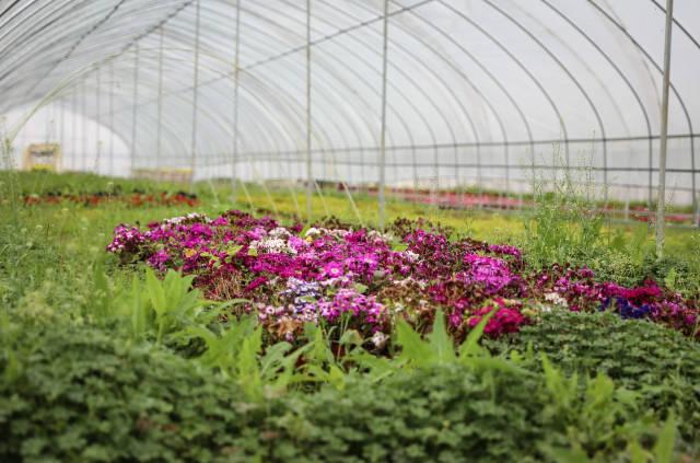 温室大棚内绽放的鲜花。