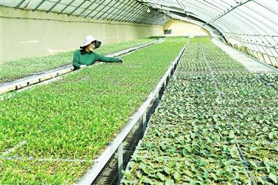 临夏市农业技术推广服务中心培育10多万株菜苗相继上市
