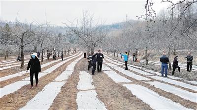 临夏州和政县三十里铺镇南阳山村修剪啤特果树