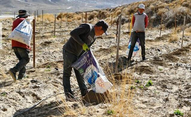 西藏山南:小葡萄拓宽农牧民致富路