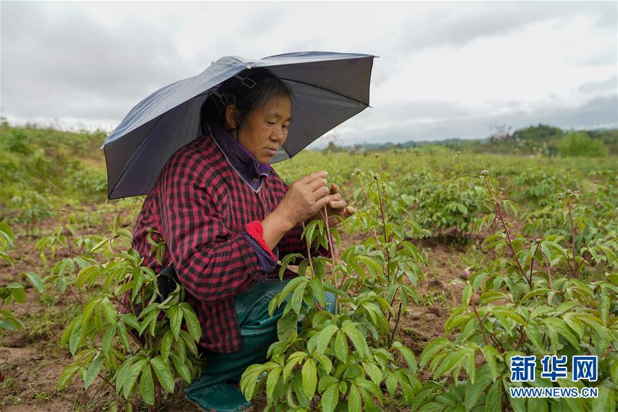 (图文互动)(2)花儿为什么这样红——重庆垫江牡丹产业发展观察