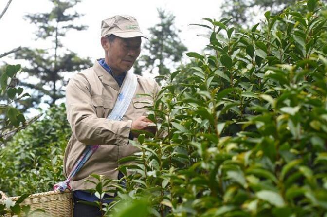 安徽黄山:茶园里开辟脱贫路