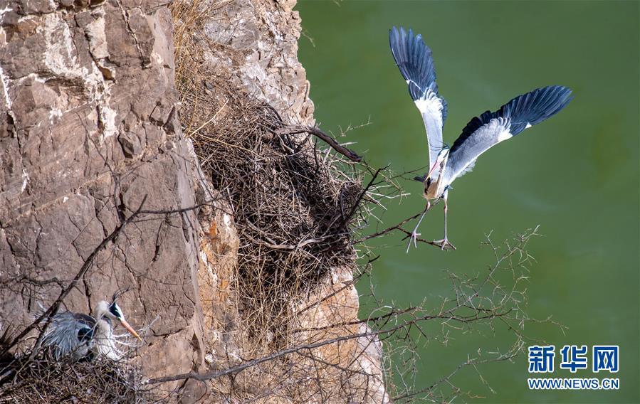 (新华视界)(2)山西平陆黄河湿地迎来夏候鸟