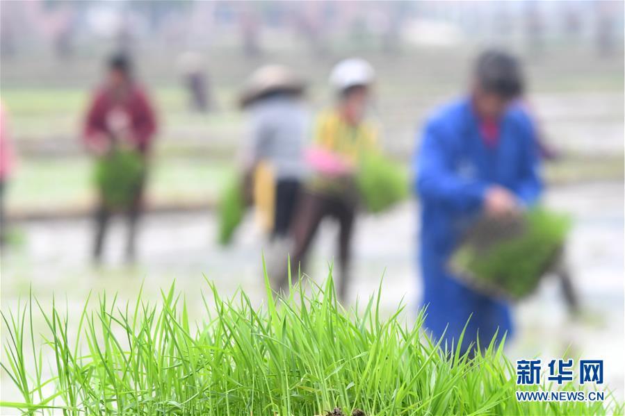 #(社会)(2)湖南娄底:田间插秧忙