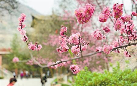 【走遍甘肃】金城之春(图)