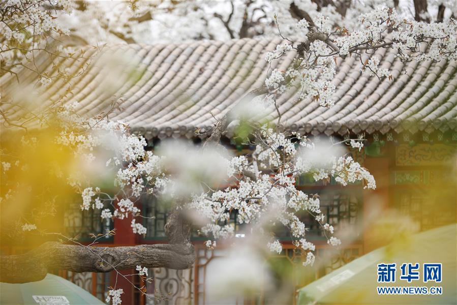 (春季美丽生态)(3)百年梨园梨花开