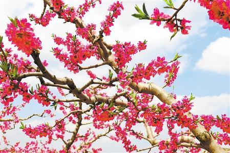 天水秦安:春来到 花枝俏