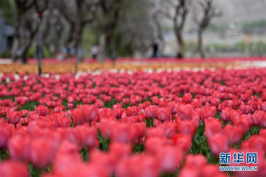 (春季美丽生态)(1)郁金香绽放黄河河畔