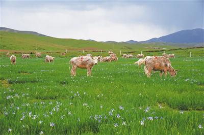 世界白牦牛唯一产地