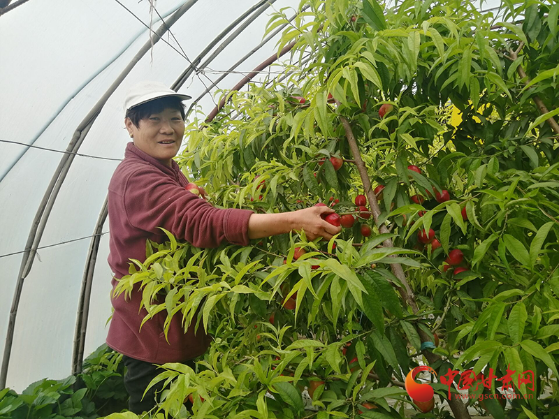 金塔:油桃成熟季 采摘正当时