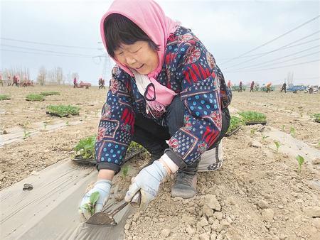 """金昌永昌县:高原夏菜鼓起农民""""钱袋子"""""""