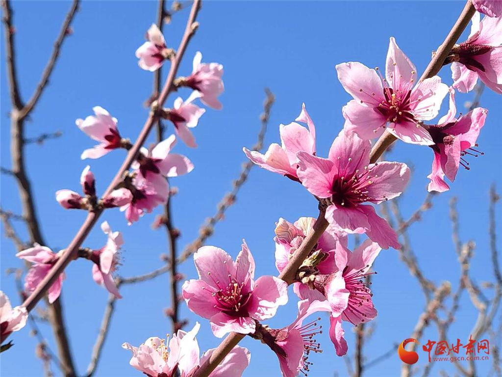 最美凉州四月天 桃花儿红来杏花儿白(组图)
