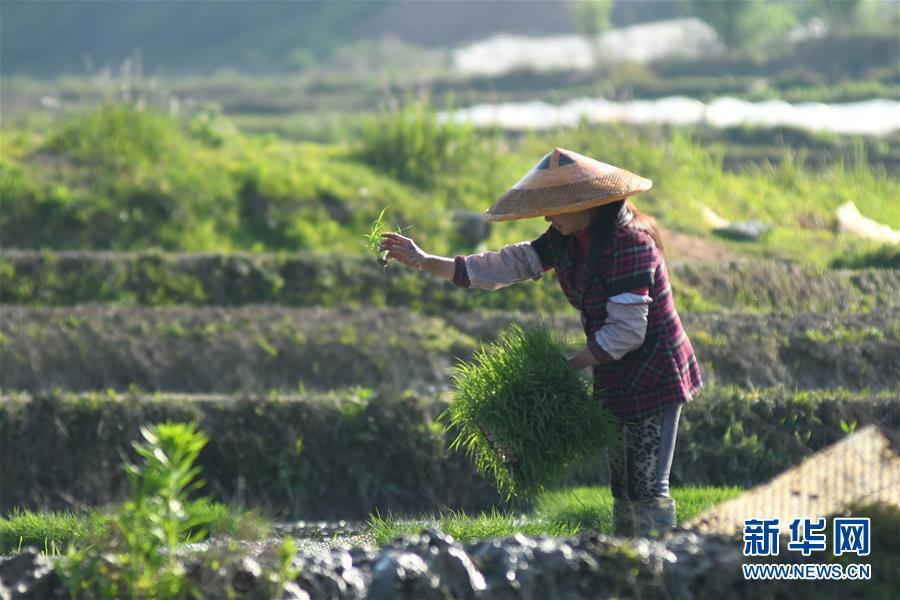 #(经济)(2)湖南娄底:抓紧农时插秧忙