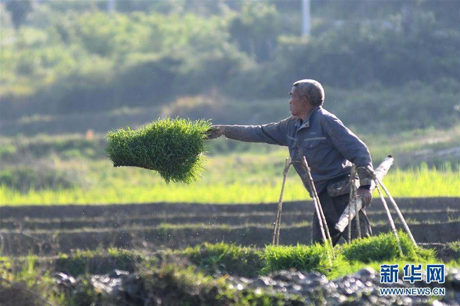 #(经济)(3)湖南娄底:抓紧农时插秧忙