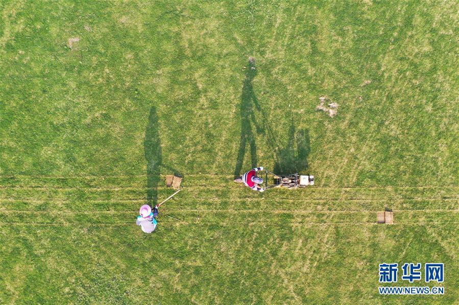 #(经济)(2)江苏泗洪:发展草坪种植 帮助农民家门口就业