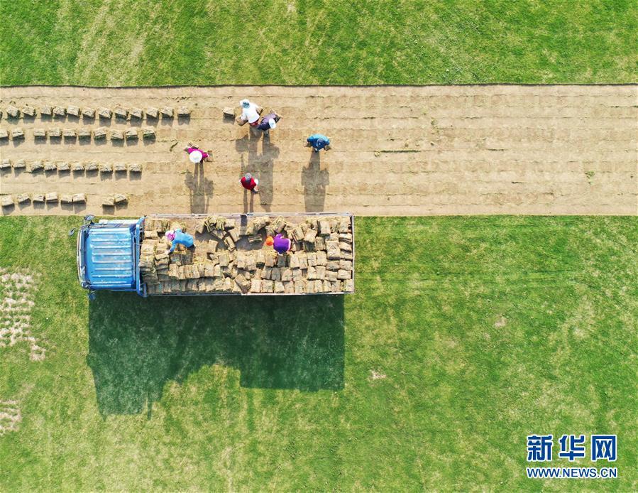#(经济)(3)江苏泗洪:发展草坪种植 帮助农民家门口就业