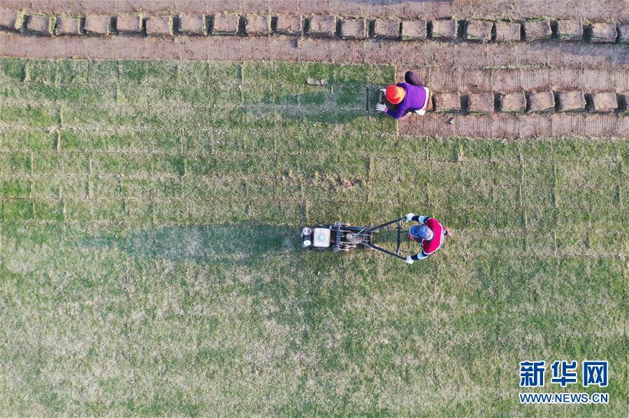 #(经济)(4)江苏泗洪:发展草坪种植 帮助农民家门口就业