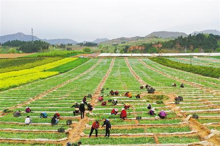 陇南成县陈院镇白马寺村群众对万寿菊苗进行移植