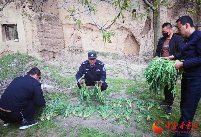 【平安甘肃】天水甘谷警方查处一起非法种植罂粟案(图)