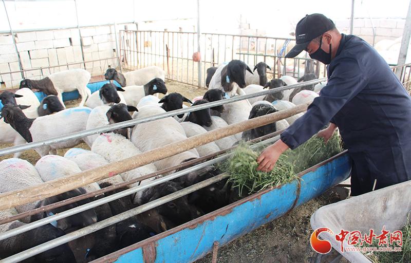 """甘肃瓜州:""""羊倌""""变""""网红""""直播卖羊3000只(图)"""