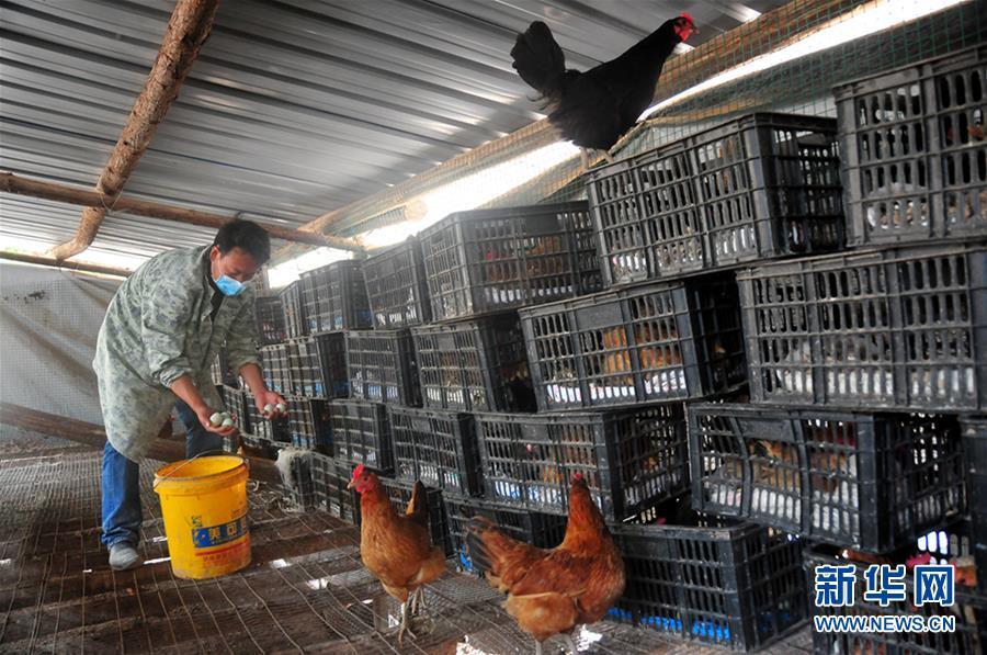 """(图文互动)(2)山林养鸡场:农民的""""银行"""""""